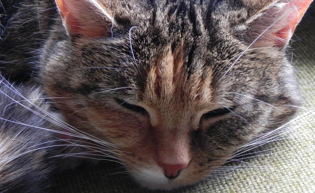 Gratuitous close-up of Honey taking a nap